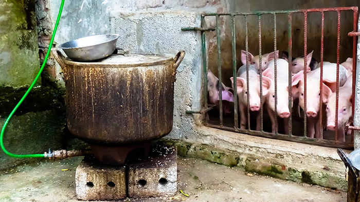 Piglets fenced up next to a biogas stove fueled by their waste