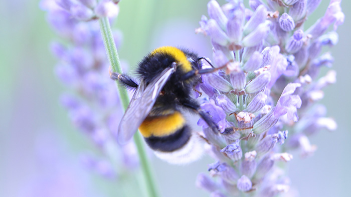 A bee collecting nectar from a lavender bush