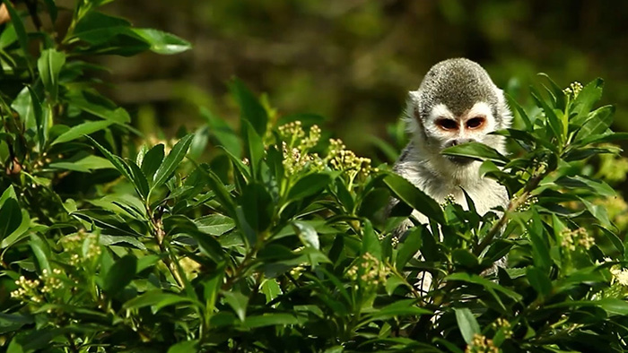 A squirrel monkey looking out from the top of a tree.