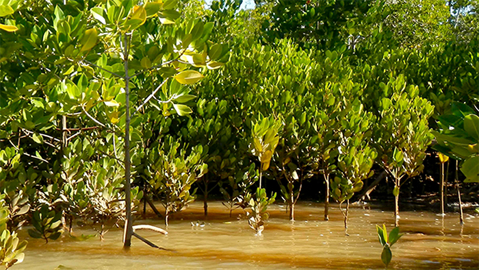 A mangrove forest at high tide, with the water covering the roots of the trees
