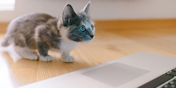A small grey and white kitten looking at the screen of a laptop