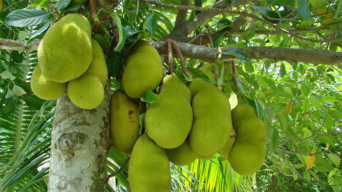 Jackfruit growing on a Artocarpus heterophyllus tree