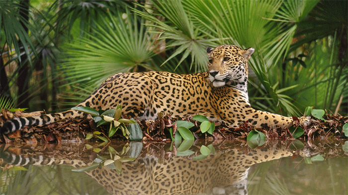 A jaguar sitting next to a body of water.