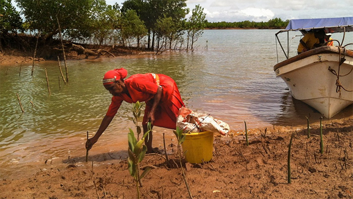 A woman planting red mangroves along a riverbank in Madagascar.