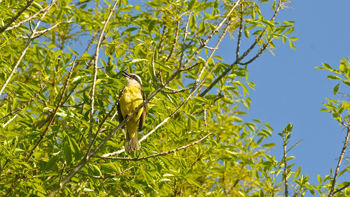 A bird sitting on a branch in the Guanaré Forest Plantation project.