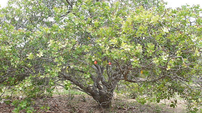 An Anacardium occidentale tree.