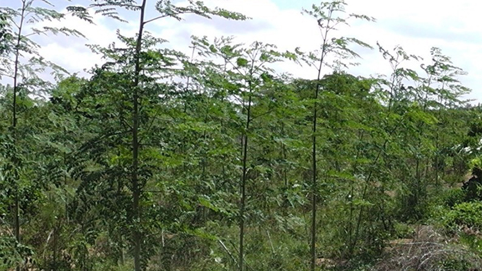 A copse of Moringa oleifera trees in the reforestation project in Bore, Kenya.