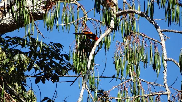 A bird in a tree in Almeirim, Pará, Brazil