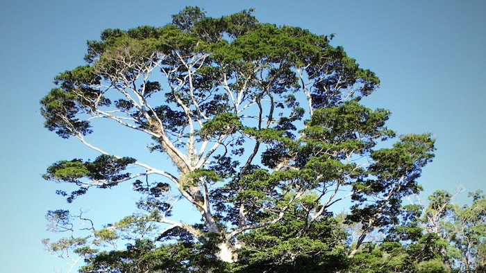 Photo of a Newtonia buchananii tree against a blue sky.