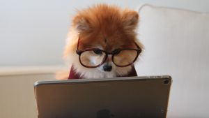 A Pomeranian dog is wearing glasses and looking at a laptop