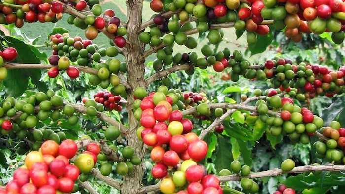 A photo of a coffee plant, with red, yellow, and green coffee beans growing.