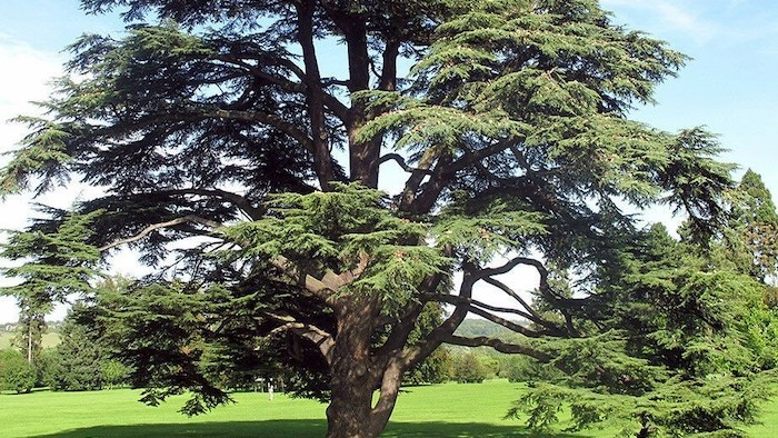 A large Atlas cedar tree in a field.