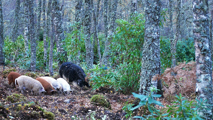 Woolly pigs forage in a forest
