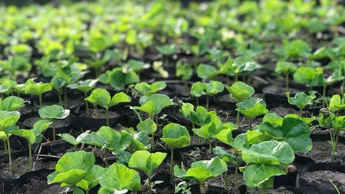 Seedlings await planting in Haiti.