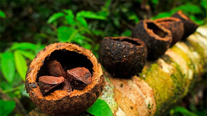 Brazil nuts rest in the fruit of the Brazil nut tree.