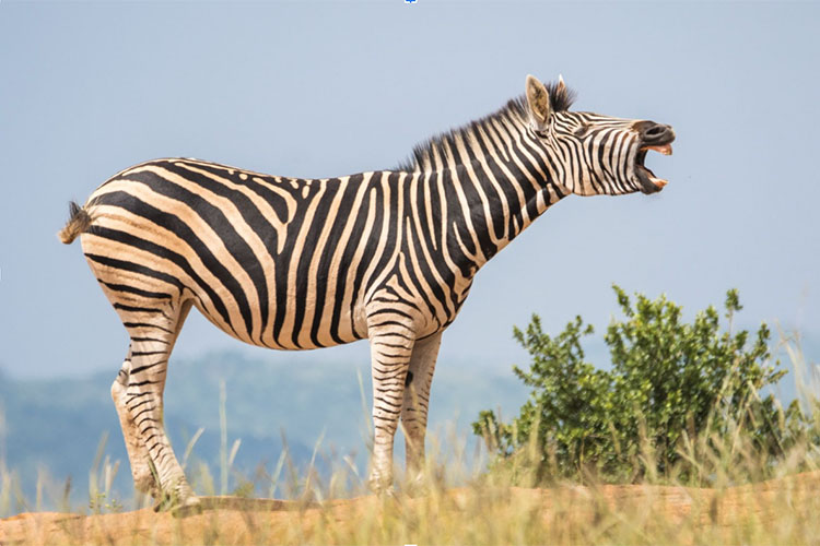 A zebra stands and looks like he's shouting.