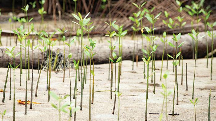 Mangrove saplings grow in an Indonesian forest.